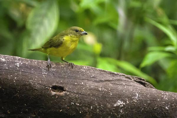 Photograph - Juvenile Thick Billed Euphonia Jardin Botanico Quindio Calarca Colombia by Adam Rainoff