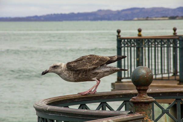 Wall Art - Photograph - Juvenile Western Gull, Ready For Takeoff From San Francisco by Beth Partin