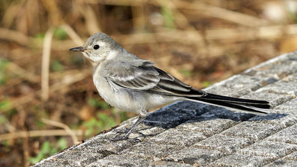 Photograph - Juvenile White Wagtail Standing by Pablo Avanzini