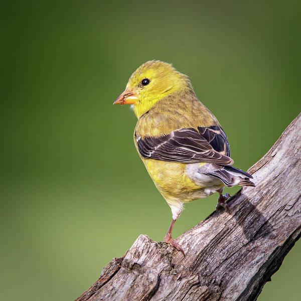 Photograph - Juvenile Yellow Finch #1  by David Heilman
