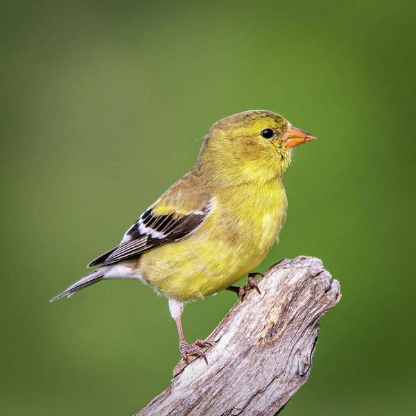 Photograph - Juvenile Yellow Finch #2  by David Heilman
