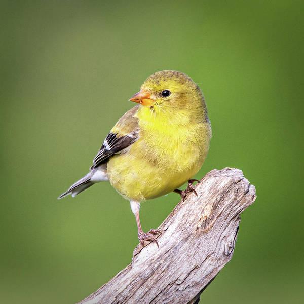 Photograph - Juvenile Yellow Finch #3  by David Heilman