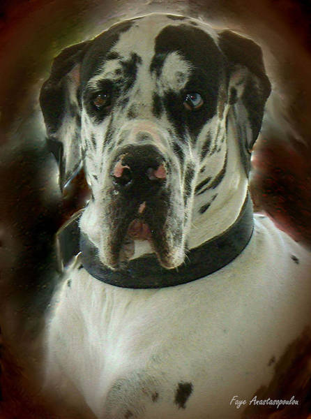 Black Great Dane Painting - Kaiser The Great Dane by Faye Anastasopoulou