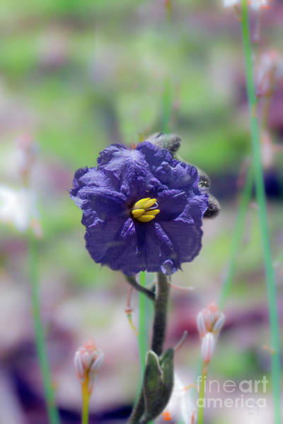 Photograph - Kangaroo Apple, Solanum Aviculare by Elaine Teague