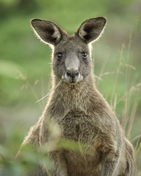 Skippy Wall Art - Photograph - Kangaroo Chewing Grass by Barry Kearney