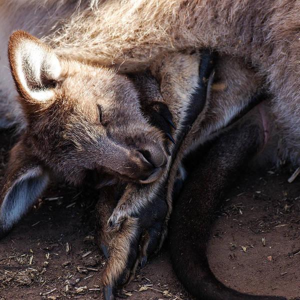 Photograph - Kangaroo Joey by Rob D Imagery