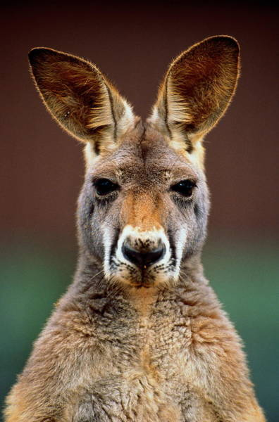 Animal Head Photograph - Kangaroo Macropus Sp., Head-shot by Art Wolfe