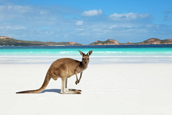 Wall Art - Photograph - Kangaroo On Beach by Andrew Watson