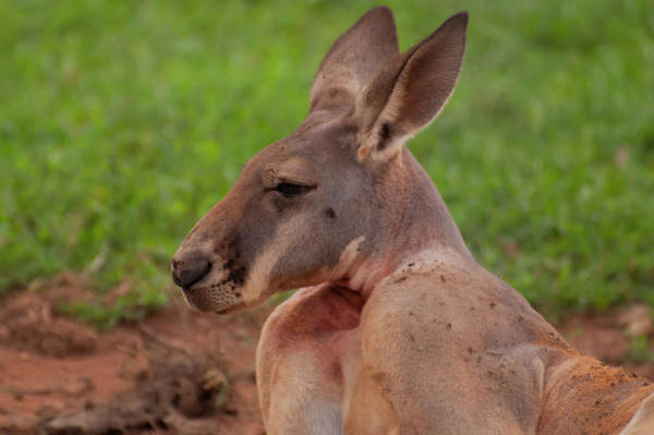 Photograph - Kangaroo Portrait Profile by Chris Flees