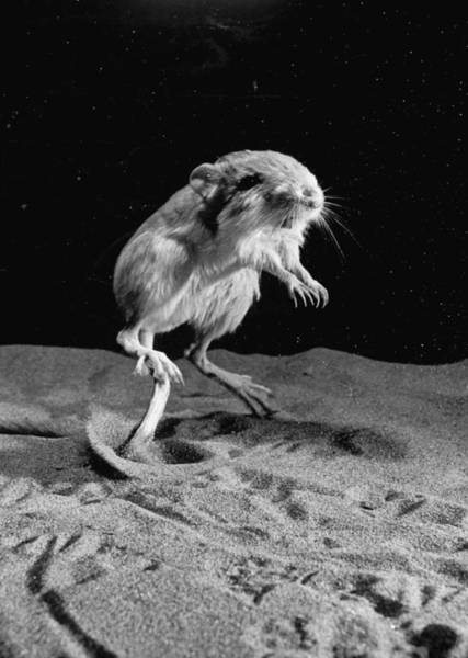Photograph - Kangaroo Rat In Mid-jump.  Photo By Loo by Loomis Dean