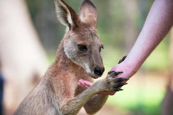 Photograph - Kangaroo by Rob D Imagery