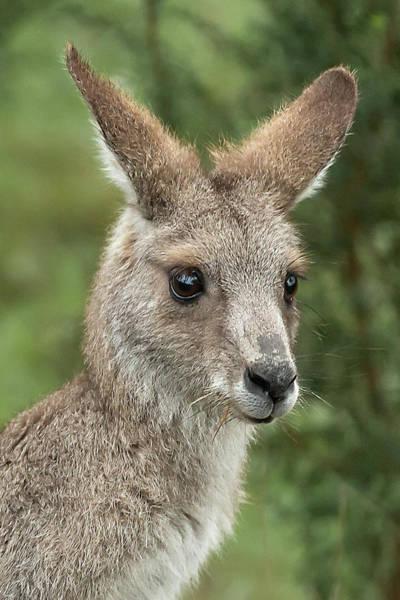 Skippy Wall Art - Photograph - Kangaroo Up Close by Barry Kearney
