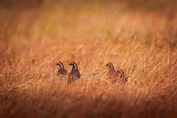 Photograph - Kansas Bobwhites by Jeff Phillippi