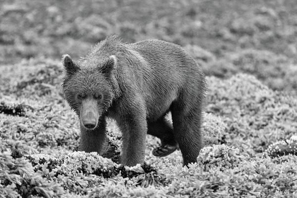 Photograph - Katmai Bear In Monochrome by Mark Hunter