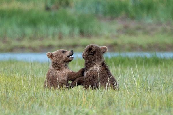 Photograph - Katmai Cubs by Mark Hunter