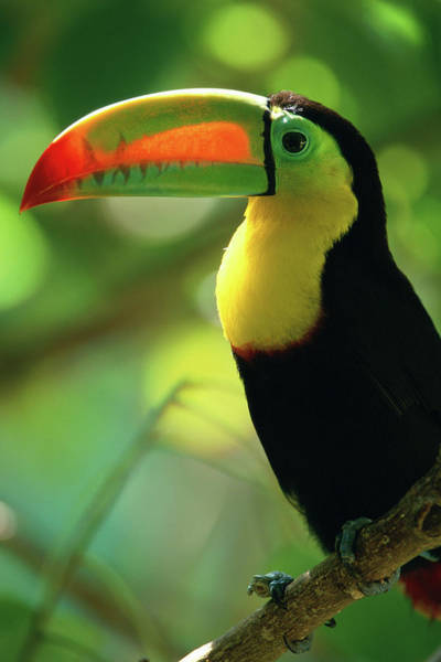 Toucan Photograph - Keel-billed Toucan Ramphastos by Art Wolfe