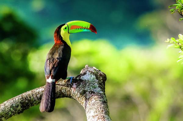 Keel-billed Toucan Photograph - Keel-billed Toucan  by Urs Hauenstein