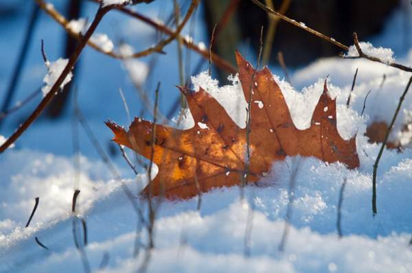 Wall Art - Photograph - Keep Your Leaf Above The Snow by Greg Hayhoe