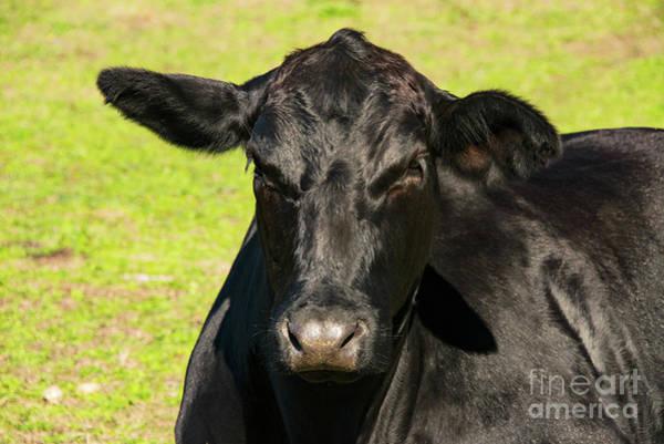 Photograph - Black Angus Portrait Two by Bob Phillips