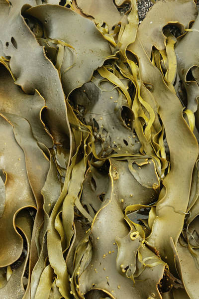 Wall Art - Photograph - Kelp Close-up, Falkland Islands by Adam Jones