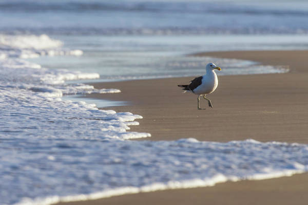 Kelp Photograph - Kelp Gull Larus Dominicanus Looking For by Peter Chadwick