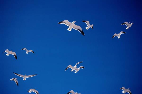 Back In The Day Photograph - Kelp Gulls Larus Dominicanusin Flight by Art Wolfe