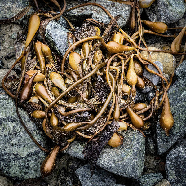 Photograph - Kelp Vi Color by David Gordon