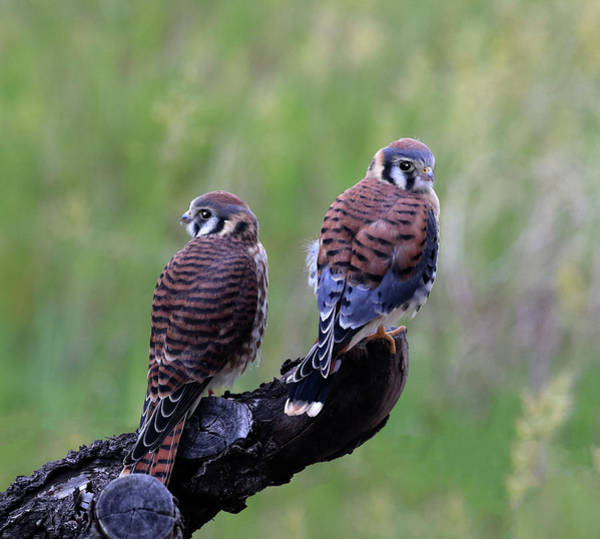 Photograph - Kestrel Pair by Shane Bechler