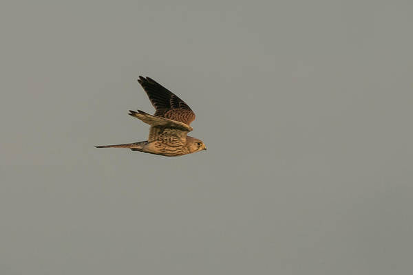 Photograph - Kestrel Sundown Flyby by Wendy Cooper