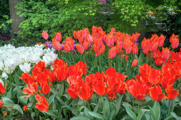 Surprise Lily Photograph - Keukenhof Flowerbed With Tulip Lovely Surprise by Jenny Rainbow