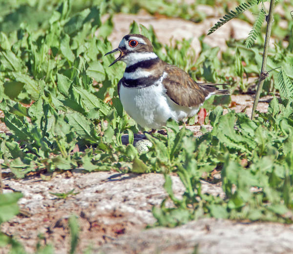 Photograph - Kildeer Nest And Egg 8667-042819 by Tam Ryan
