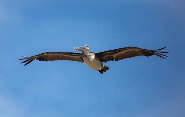 Wall Art - Photograph - Kill Devil Pelican by Lora J Wilson