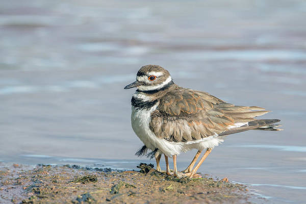 Photograph - Killdeer Adult And Two Chicks Underneath 2630-052719 by Tam Ryan