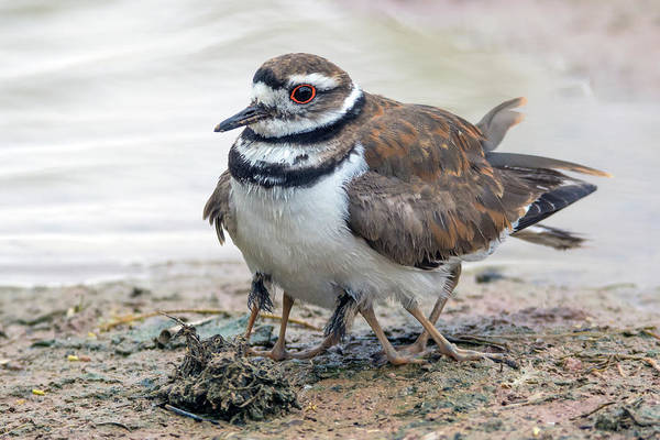 Photograph - Killdeer Adult And Two Chicks Underneath 3193-052719 by Tam Ryan