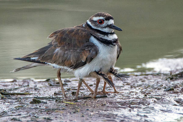 Photograph - Killdeer Adult And Two Chicks Underneath 4006-053119 by Tam Ryan
