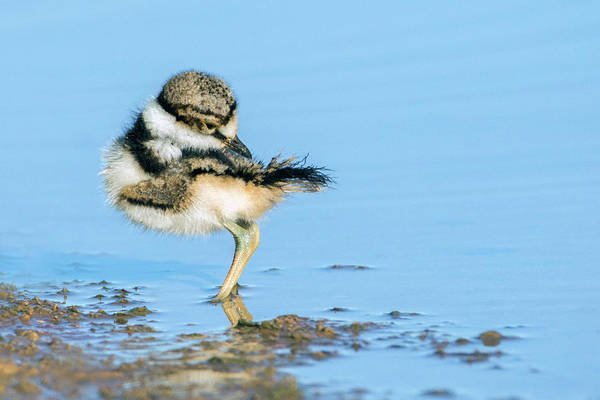 Photograph - Killdeer Chick 2306-052619 by Tam Ryan