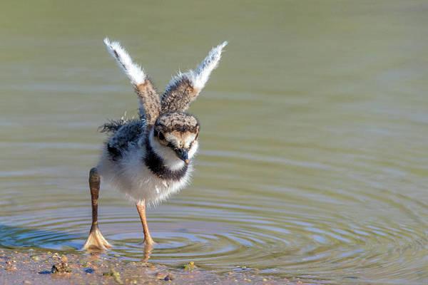 Photograph - Killdeer Chick 4342-053119 by Tam Ryan