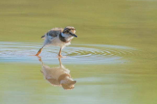 Photograph - Killdeer Chick 4458-060119 by Tam Ryan