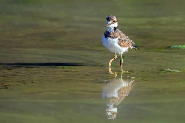 Photograph - Killdeer Chick 5063-060719 by Tam Ryan