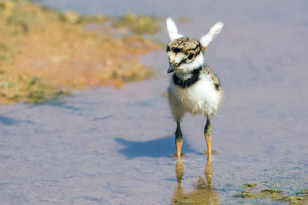Photograph - Killdeer Chick With Wings Up 3309-052719 by Tam Ryan