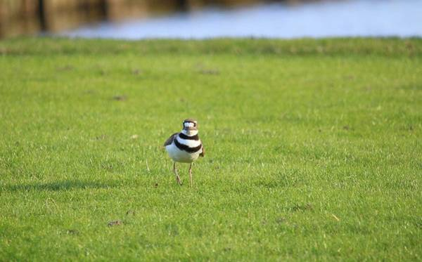 Photograph - Killdeer  by Cynthia Guinn