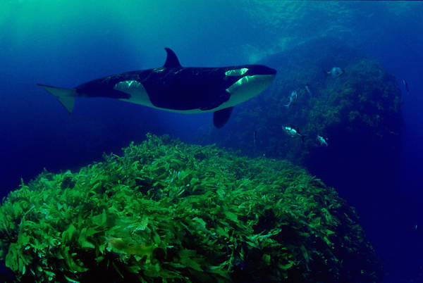 Underwater Photograph - Killer Whale Orcinus Orca, Underwater by David Fleetham