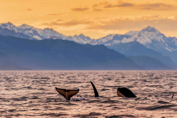 Wall Art - Photograph - Killer Whales  Orcinus Orca by John Hyde