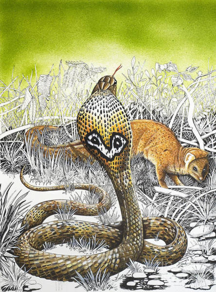 Wall Art - Painting - King Cobra Meets His Match by Susan Cartwright