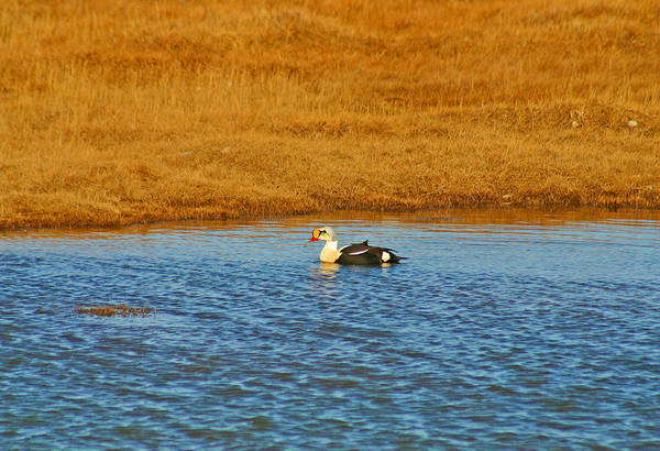 Photograph - King Eider In Pond by Anthony Jones