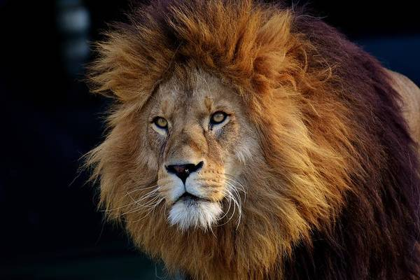 Photograph - King Lion by Top Wallpapers