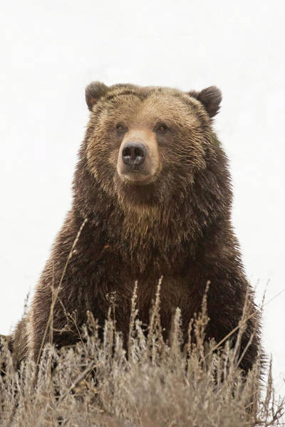 Wall Art - Photograph - King Of The Grizzlies by Sandy Sisti