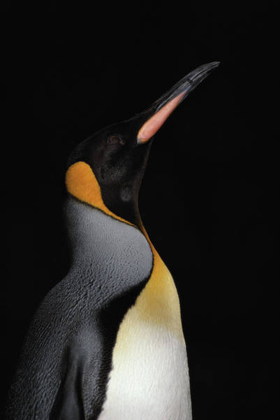 King Penguin Wall Art - Photograph - King Penguin Aptenodytes Patagonica by Naruaki Onishi