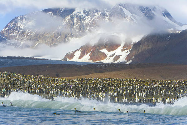 The Rookery Wall Art - Photograph - King Penguin Aptenodytes Patagonicus by Eastcott Momatiuk