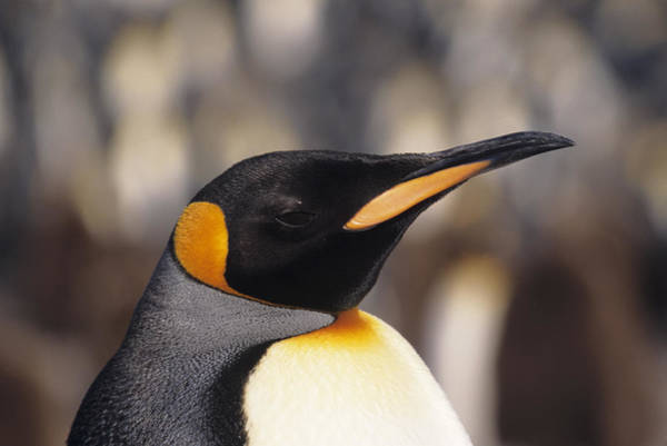 Body Parts Photograph - King Penguin Aptenodytes Patagonicus by Tom Brakefield